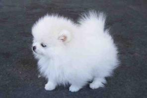 Tea cup pomeranian puppies for x-mas